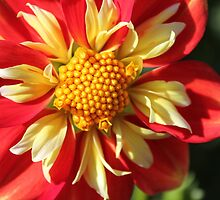 Unusual Dahlia.. by Elaine Game