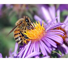 Honey Bee On Purple Flower Photographic Print