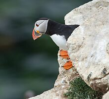 Puffin peeking out, Saltee Islands, Co. Wexford, Ireland by Andrew Jones