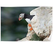 Puffin peeking out, Saltee Islands, Co. Wexford, Ireland Poster