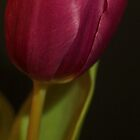 Single Purple Tulip by Theresa Selley