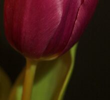 Single Purple Tulip by Theresa Selley