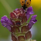 Ladybird on selfheal by Peter Skillen