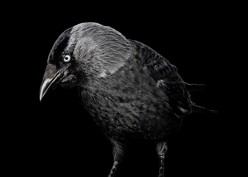 Crow by laurxy