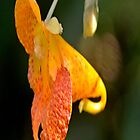 Jewelweed by scott staley