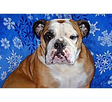 bull dog Photographic Print