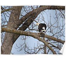 American Bald Eagle With Food 2 Poster