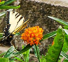 Eastern Tiger Swallowtail Butterfly On Butterfly Weed by Mary Carol Story