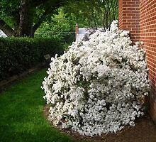 Azalea next to our house by Bine