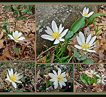 Bloodroot Wildflowers - Sanguinaria canadensis L by MotherNature