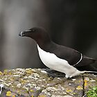 razorbill by Grandalf