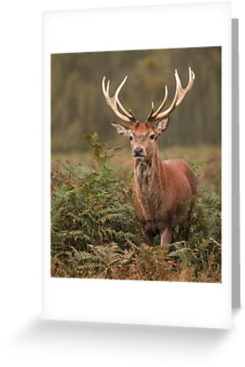 Majestic Red Stag by Patricia Jacobs CPAGB LRPS BPE3
