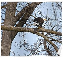 American Bald Eagle With Food 3 Poster