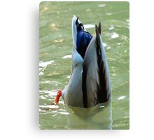Bottom's Up Dabbling Duck Canvas Print