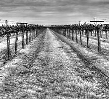 Dry Vines by Diego  Re