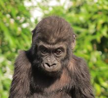 Baby Gorilla,Bristol Zoo,UK by Dawn B Davies-McIninch