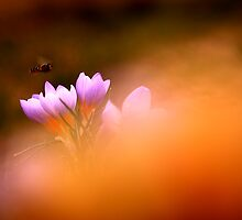 Wild flowers in sunset by Balazs Kovacs