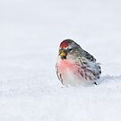 Male Redpoll in the snow by Wayne Wood