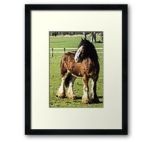 Shire horse Framed Print