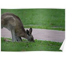 Roo grazing Poster