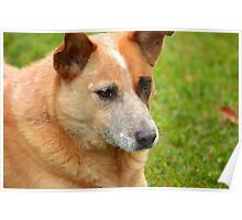 Red cattle dog cross Poster