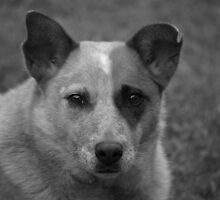 Red cattle dog cross 2 by Joel Anderson