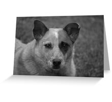 Red cattle dog cross 2 Greeting Card