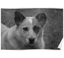 Red cattle dog cross 2 Poster