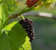 Sweet Mulberry by Joel Anderson
