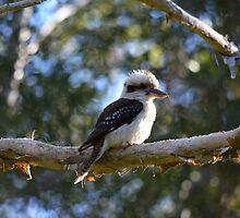 Kookaburra vigil 2 by Joel Anderson