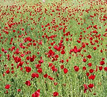 A Pasture Of Red Poppies and Remembrance by taiche