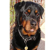 Mature Male Rottweiler Portrait Photographic Print