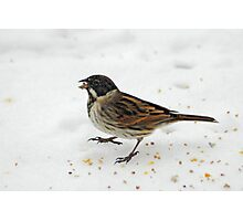 Male Reed Bunting Photographic Print