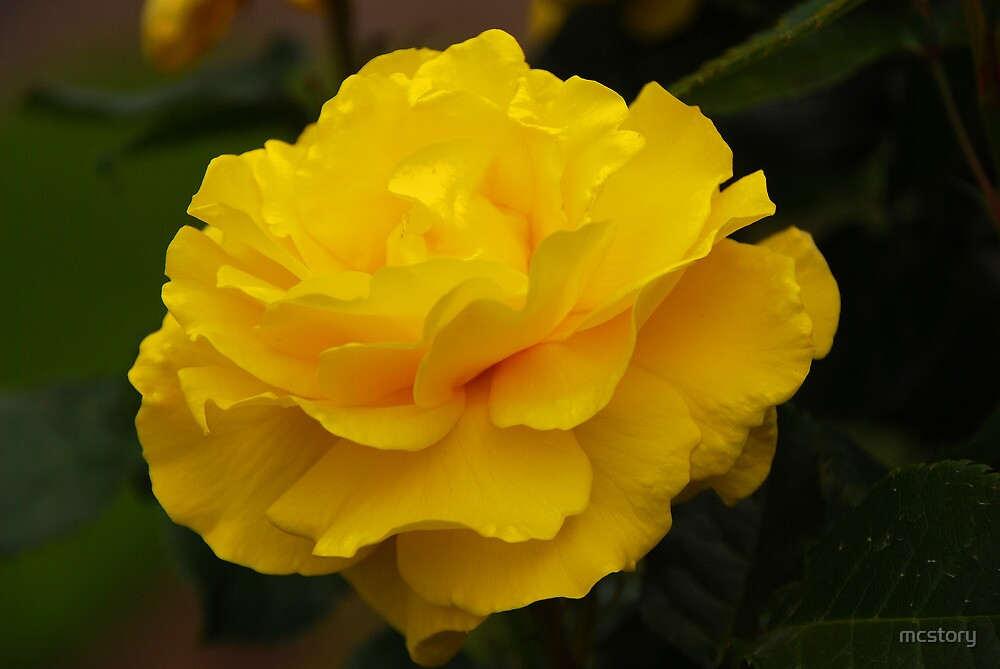 Single Yellow Rose by Mary Carol Story