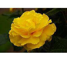 Single Yellow Rose Photographic Print