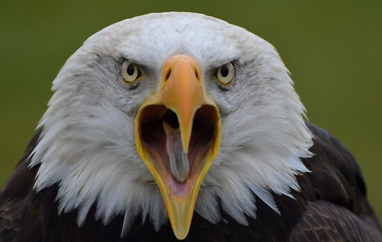 Bald Eagle II by Peter Wiggerman