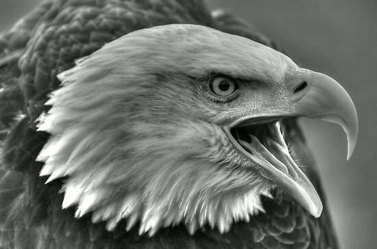 Bald Eagle IV by Peter Wiggerman