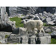 Goat Strut Photographic Print