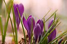 Crocus from a bugs point of view by NatureGreeting Cards ©ccwri