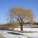 Willow Tree in Winter by jkartlife