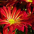 Fire-bright Mums by MaryinMaine