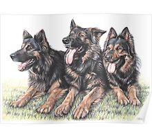 German Shepherd Dogs Poster