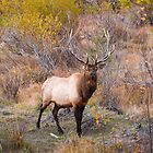 Male Bull Elk by Reese Ferrier