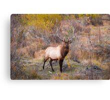 Male Bull Elk Canvas Print