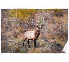 Male Bull Elk Poster