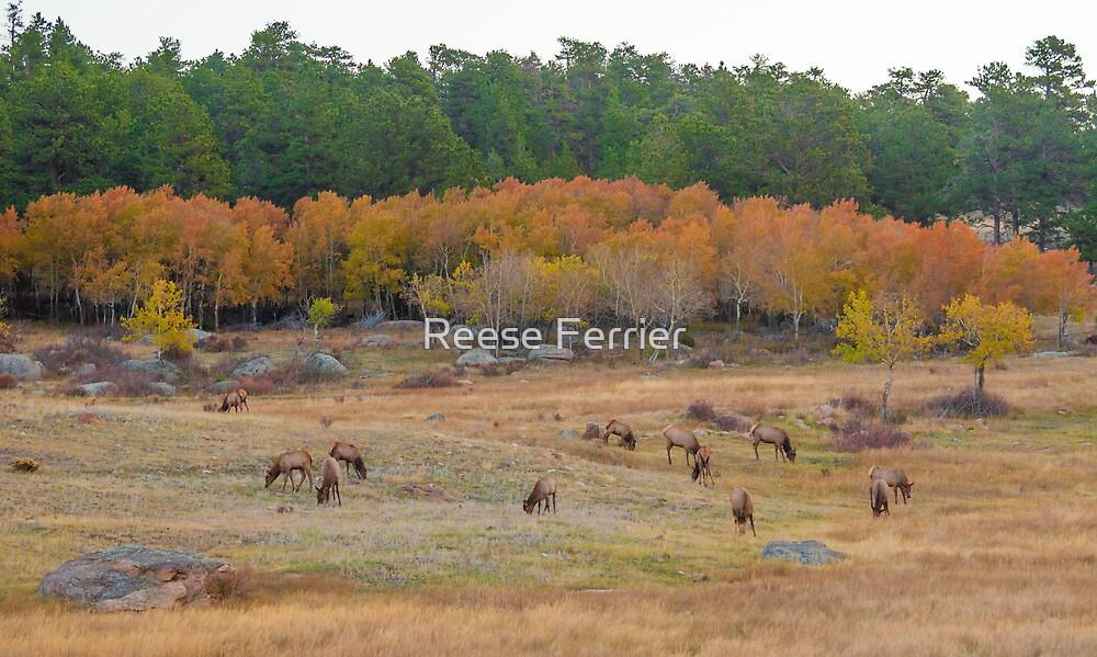 Elk in Rocky Mountain National Park by Reese Ferrier