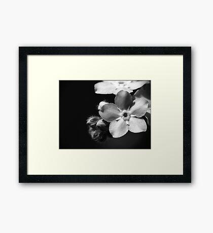 Forget-Me-Nots 1 B&W Framed Print