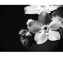 Forget-Me-Nots 1 B&W Photographic Print