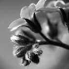 Forget-Me-Nots 4 B&W by photonista