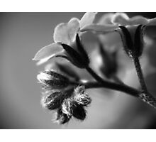 Forget-Me-Nots 4 B&W Photographic Print